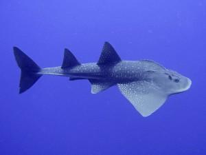 Guitiarfish in St.Petersburg Oceanarium
